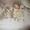 Щенки Лабрадора-ретривера палевого окраса #1293462