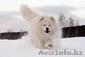 Очаровательные белоснежные щенки самоеда!