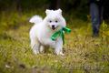 Белоснежные щенки самоеда!